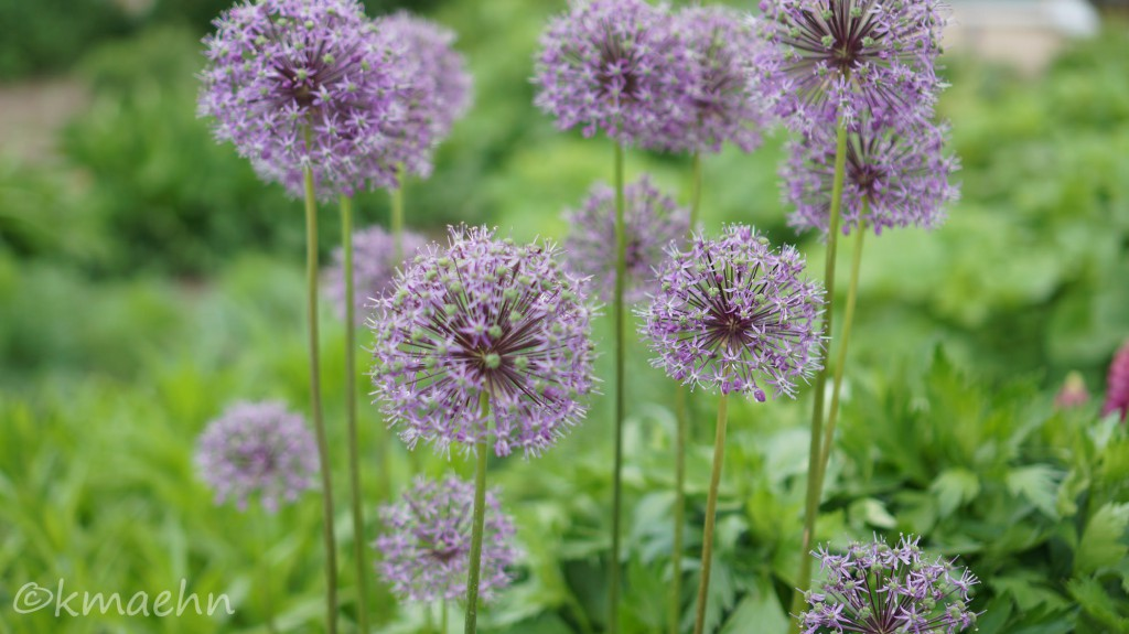 Allium_Staudenbeet