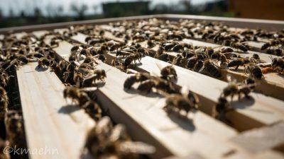 Bienen_Honigraum