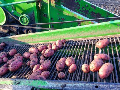 Sortierung der Kartoffeln bei der Ernte