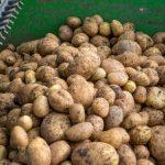 Kartoffelernte2