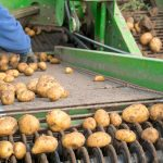 Kartoffelernte3