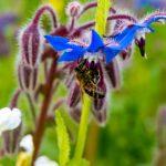 Biene im Boretsch2