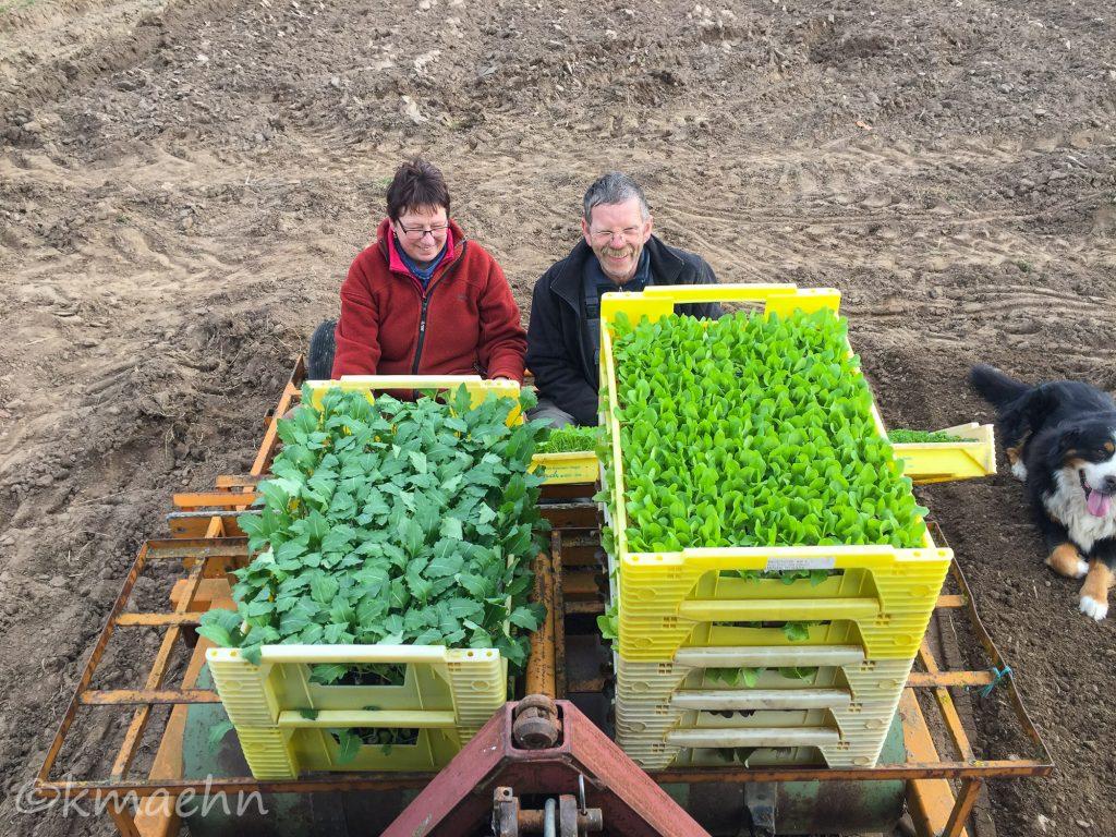 Salatpflaenzchen2