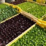 Salatpflänzchen3